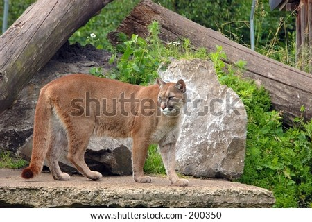A picture of a puma, cougar in a local zoo in the city Olmen in belgium.