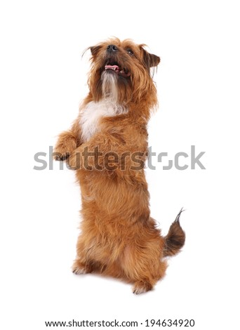 A picture of a smart terrier showing a trick over white background