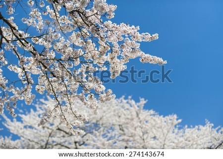 A picture of blooming cherry blossoms at Fugiyoshida, Japan. - stock photo