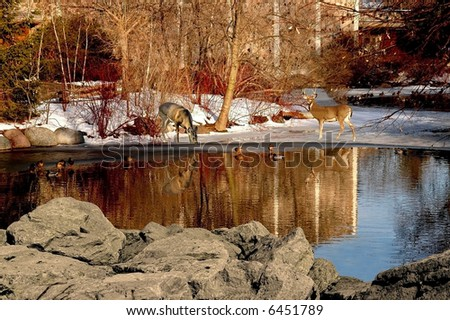 a picture of two dear with reflections on a pond in wisconsin - stock photo