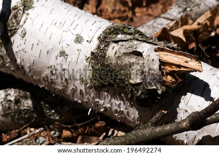 A piece of a birch tree with broken limbs. - stock photo