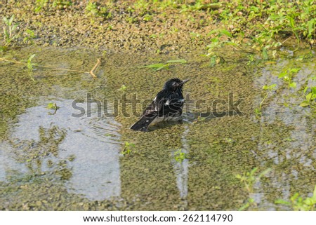 A Pied Bushchat bird swimming in a pool of water naturally. - stock photo