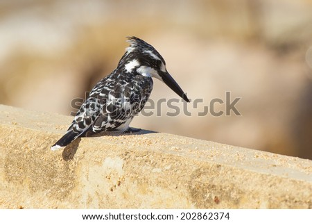 A Pied Kingfisher (Ceryle rudis) Seen in its Natural Habitat in the Kruger National Park of South Africa - stock photo