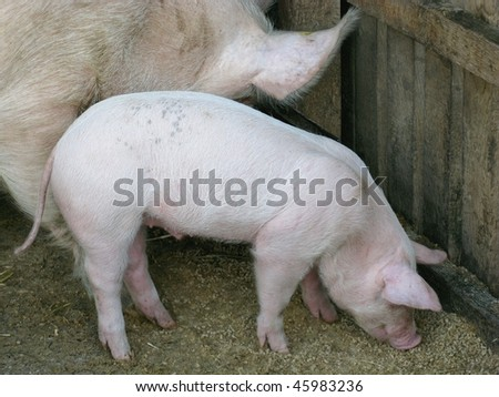 A pig and a piglet - stock photo