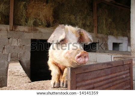 A pig overlooking the fence on a farm