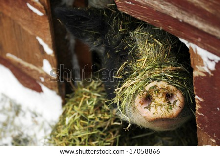 A pig sticks his nose out of his shelter during the winter time. - stock photo