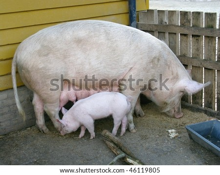 A pig with a piglet - stock photo