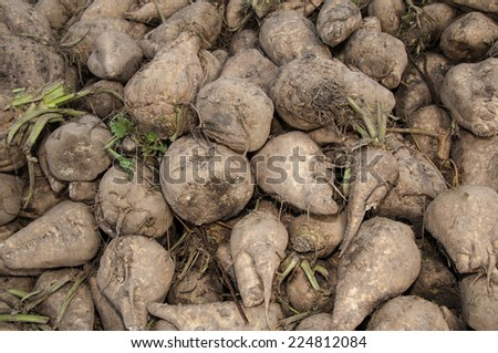 A pile of harvested sugar beets