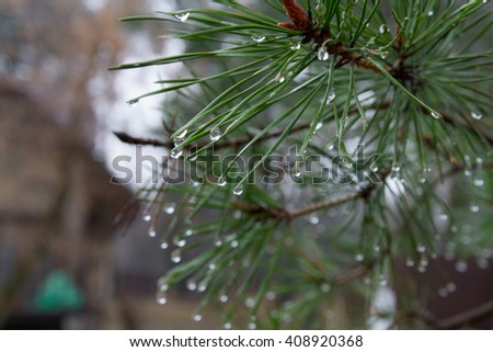 A pine branch, needles with water drops - stock photo