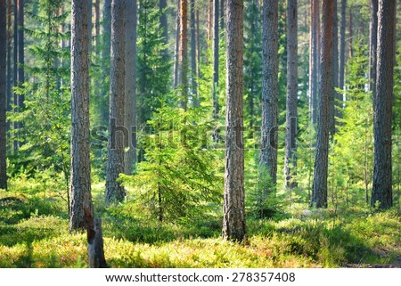 A pine forest in Finland - stock photo