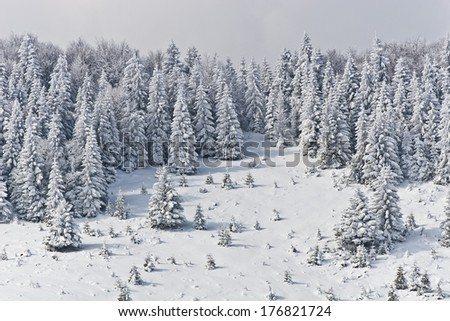 a pine forest in the middle winter - stock photo
