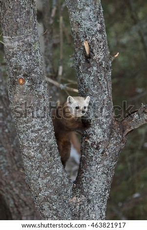 A pine marten standing the v of two tree trunks