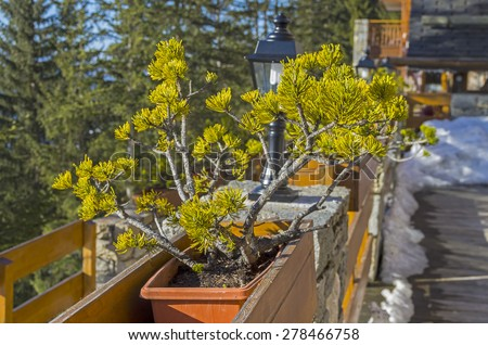 A pine tree in bonsai style in the yard a small hotel in the ski resort. - stock photo