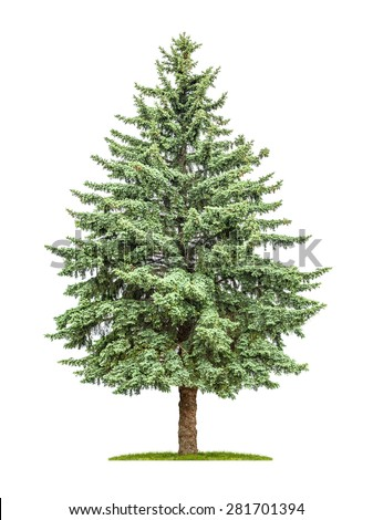 A pine tree on a white background - stock photo