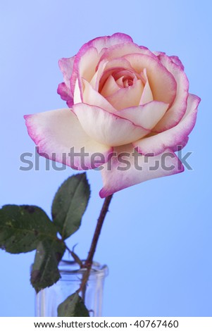 A pink and white rose flower isolated against a light blue background in the vertical format.