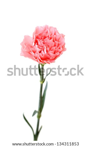 a pink carnation isolated on white background