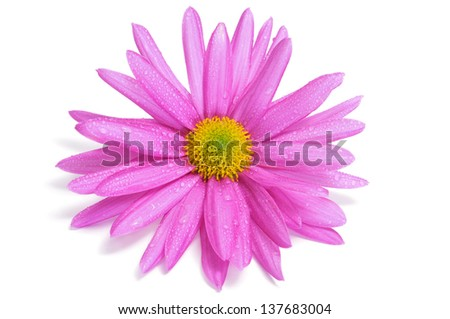 a pink chrysanthemum with dew drops on a white background