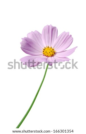 A pink cosmos flower  - stock photo