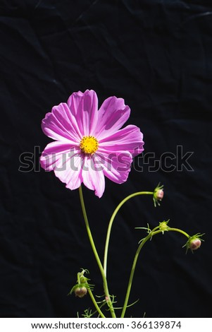 A pink cosmos with green stem on black background - stock photo