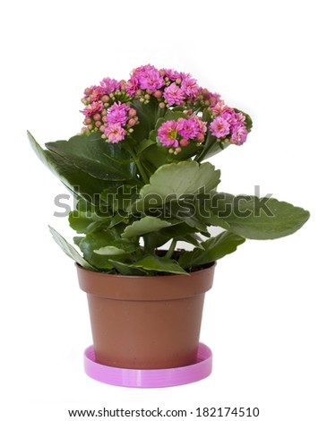 A pink flower in a pot on white background