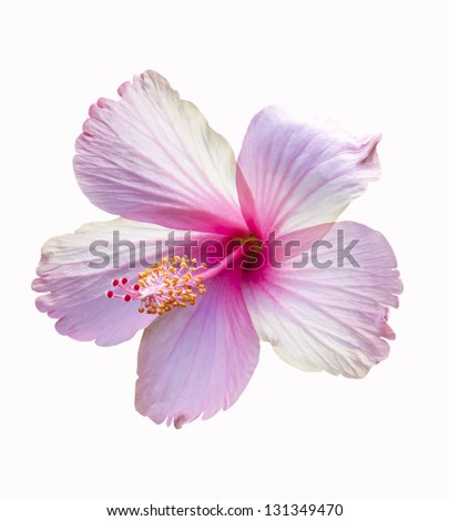 A pink hibiscus flower isolated on white background - stock photo