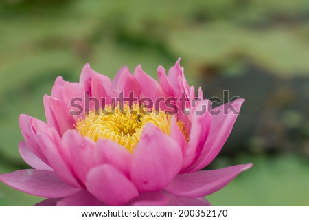 A pink lotus and an ant on the natural pool - stock photo