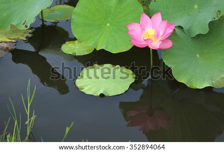 A pink lotus flower blooming among lush leaves in a pond with reflections on the smooth water - stock photo
