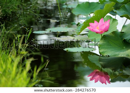 A pink lotus flower blooming among lush leaves with reflections in water - stock photo