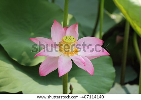 A pink lotus flower blossom among green foliage - stock photo