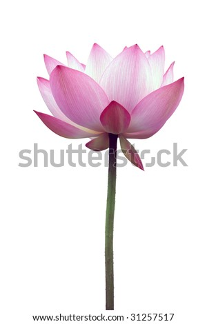 a pink lotus flower isolated - stock photo