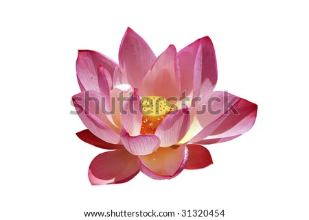 a pink lotus flower isolated