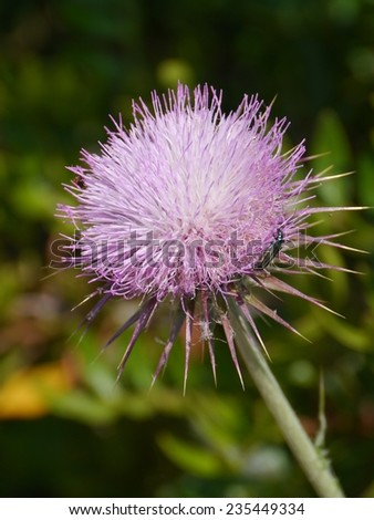 A pink plume thistle (cirsium vulgare) - stock photo