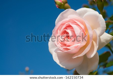 a pink rose and blue sky - stock photo