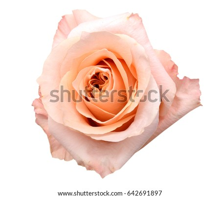 A pink rose flower isolated