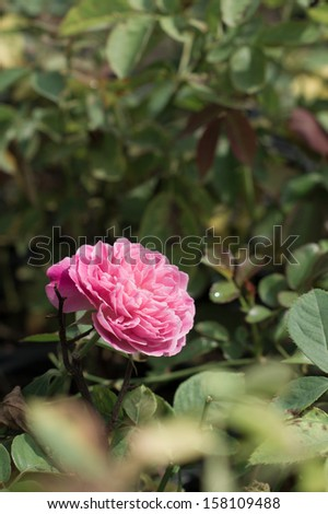 A pink rose in the garden - stock photo