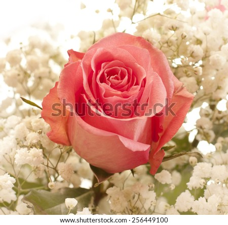 A pink rose surrounded by small white flowers - stock photo
