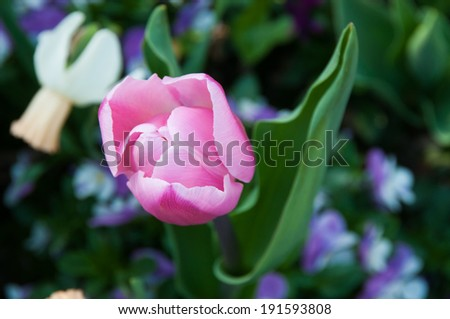 a pink tulip - stock photo