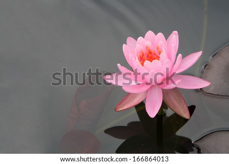 a pink water lily blossom on water with reddish green foliage