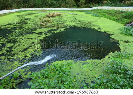 A pipe pours water into a pond covered with green algae. - stock photo