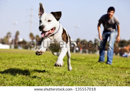 A Pit Bull dog  mid-air, running after its chew toy with its owner standing close by.