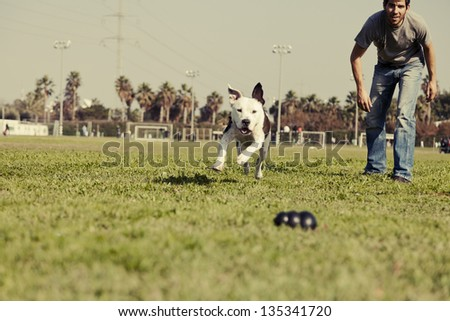 A Pit Bull dog running after its chew toy with its owner standing close by. - stock photo