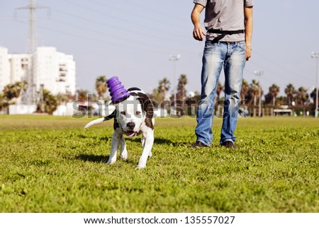 A Pit Bull dog running after its chew toy with its owner standing close by.