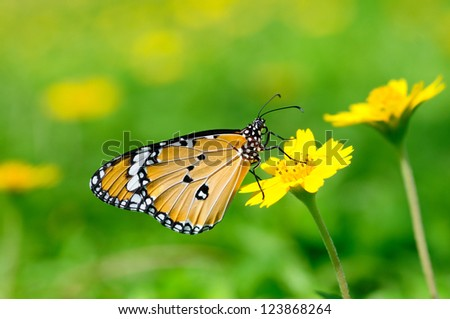 a plain tiger butterfly perching on a flower - stock photo
