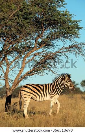 A plains (Burchells) zebra (Equus burchelli) in natural habitat, South Africa - stock photo
