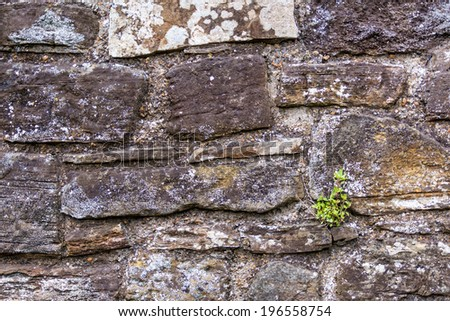 A plant growing on a stone wall against all odds and signifying hope and rebirth, seen in Rye, Kent, UK. - stock photo