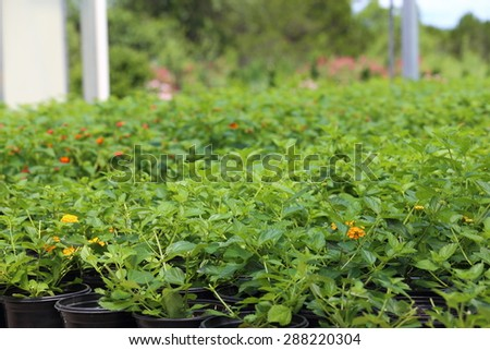 A Plant nursery growing different types of plants like plumbago, lantana, salvia, and annuals.