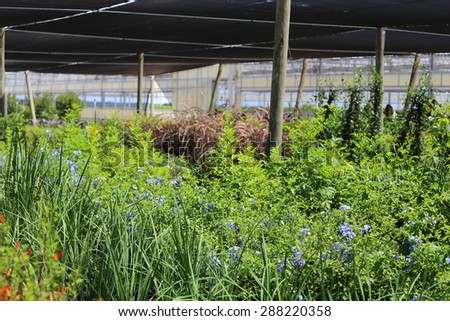 A Plant nursery growing different types of plants like plumbago, lantana, salvia, and annuals.  - stock photo
