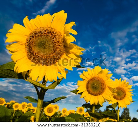 A plantation of gold sunflowers  on a background of the blue cloudy sky