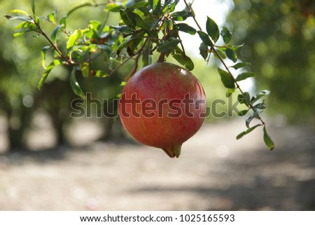 a plantation of ripe pomegranate