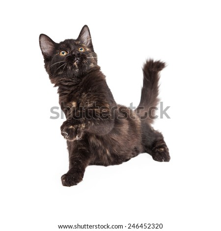 A playful Black and Tan Domestic Longhair four month old kitten batting paw into the air.  - stock photo